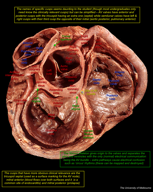 Dissectr. - Online Cadaveric Anatomy Revision - Learn Anatomy Online ...